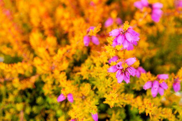 Produktfotografie Gärtnerei Blüten einer Heidepflanze Erica Gracilis fotografiert von Kees van Surksum Werbefotografie Kaufbeuren und München
